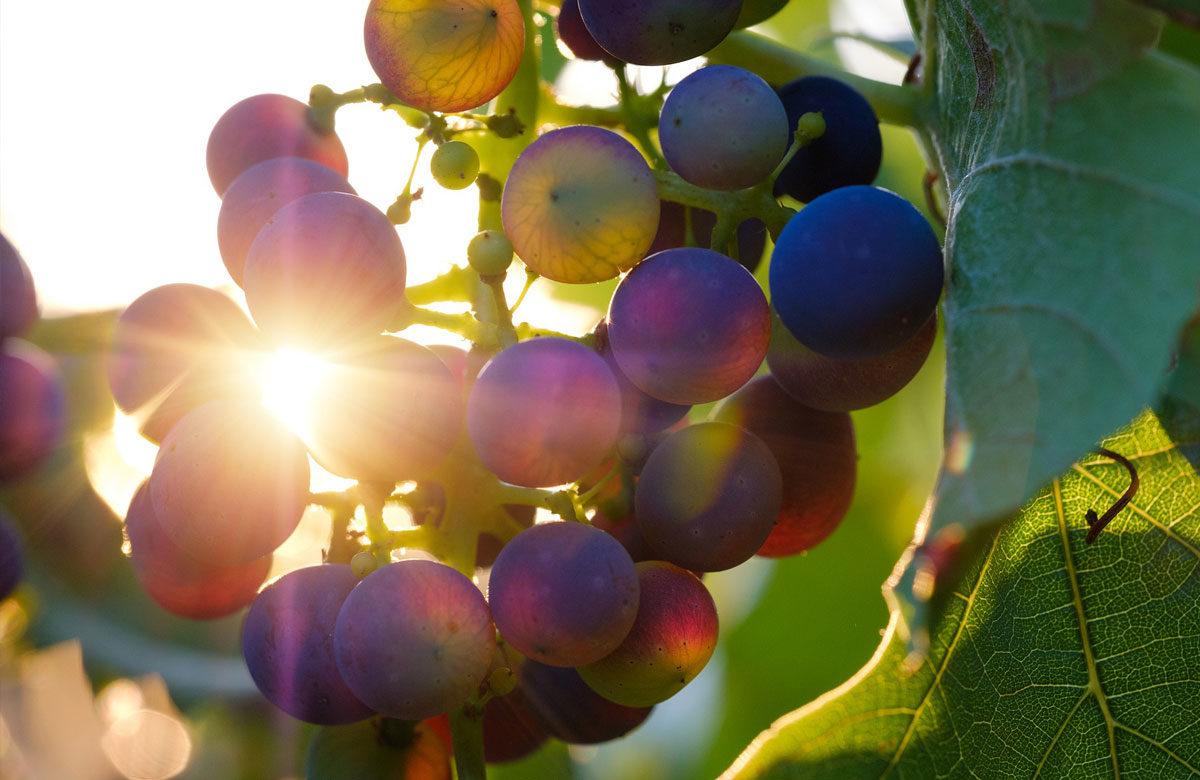 Weingut Traube